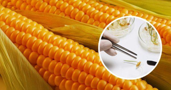 ГМО-растения оказались полезными для здоровья